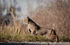 Bobcat South Carolina (stephenwalshphoto) Tags: