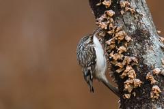 Whack-a-mole (rob.wallace) Tags: brown creeper fall 2018 huntley meadows park alexandria va