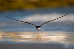 Black Skimmer (nikunj.m.patel) Tags: blackskimmer nature wildlife wild birdinflight flight photography nikond850 outdoors birds beach water nikon