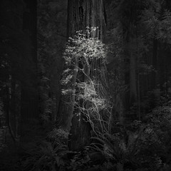 untitled (nlwirth) Tags: nlwirth yup redwoods redwood humboldtcounty california ir infrared blackandwhite magic