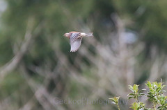Common linnet ,Linaria cannabina_filtered (Geckoo76) Tags: commonlinnet linariacannabina linnet bird