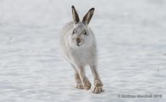 Mountain hare (Lepus timidus) (Gowild@freeuk.com) Tags: wild wildlife nature animal mammal winter snow running white andrewmarshall nikon d850