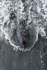 Grey Seals from Helgoland (Germany) (Chris van riel) Tags: seal cute wildlife sea beach helgoland dunes sand greyseal grey puppy predator water waves