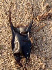 Leucoraja naevus. Morgath Lygadog. Cuckoo Ray. Egg Case. (Gwylan) Tags: leucorajanaevus cuckooray morgathlygadog morgath mermaidspurse pwrsymorforwyn ova eggcase ray skate wŷ