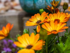 In ya' face (jenni 101) Tags: flowers bokeh colourful mygarden nikond7200 orange photographybyjen pretty sigmaart18 summercolour texture