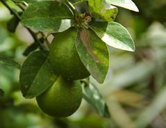 Lemon (vharishankar) Tags: bokeh flora fruit lemon plant