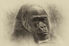 _R5A8403-Edit (jrstout55) Tags: 01062019zootrip seattle woodlandparkzoo primatee primate gorilla blackandwhite animals animalphotography animalportraits