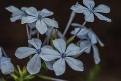 D75_6720 (crispiks) Tags: nikon d750 105mm f28 micro r1c1 albury botanical gardens new south wales