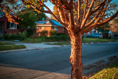 Light From the Setting Sun Bathing a Small Tree (John Brighenti) Tags: rockville maryland md twinbrook outdoors outside evening sunset autumn fall leaves trees walk hike stroll sony alpha a7rii ilce7rm2 photography photos lens camera minolta rokkor 50mm f14 city urban suburban suburbs yellow orange green road street alley concrete asphalt sonyshooter john brighenti johnbrighenti