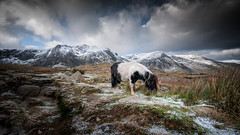 Little feet... x (Einir Wyn Leigh) Tags: landscape pony feral mountains rugged winter light snow january passion animals atmosphere beauty clouds cymru exposure rocks rural weather happy