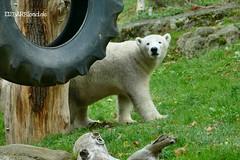 Giovanna - Quintana - Eisbären - TP Hellabrunn München (ElaNuernberg) Tags: eisbärgiovanna eisbärquintana tphellabrunnmünchen munichzoo zoo zootiere zooanimals eisbär ourspolaire polarbear ursusmaritimus niedźwiedźpolarny ijsbeer isbjorn jääkaru orsopolare