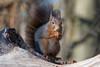 Hoernchen-2018-3202.jpg (Joachim Dobler) Tags: eichhörnchen eichhoernchen squirrel écureuil ardilla scoiattolo esquilo nature natur nagetier esquito wildlife animal cute naturephotography squirrellove wildlifephotography bestsquirrel nutsaboutsquirrels cuteanimals