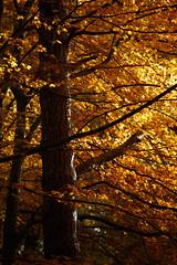 _MG_9465 (ravnhenkel) Tags: wahner heide köln troidfo troisdorf heath autumn color autumncolour colour fall indiansummer indian summer germany exploration wild forest trees yellow orange