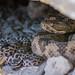 Great Basin Rattlesnake-Crotalus oreganus lutosus (Rye Jones) Tags: