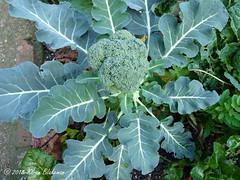 November 21st, 2018 Broccoli (karenblakeman) Tags: cavershamgarden caversham uk broccoli food vegetable brassica 2018 2018pad november reading berkshire
