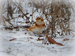 Snow bunting (yooperann) Tags: birds winter snow bunting lake superior shore marquette upper peninsula michigan