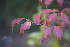 DSC09721 (Lens Lab) Tags: sony a7r achromat 100mm plants garden trees leaves branches dogwood