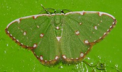 Mandalay white box face spotted emerald moth Comibaena sp aff inductaria Geometridae Airlie Beach rainforest  P1450297 (Steve & Alison1) Tags: mandalay white box face spotted emerald moth comibaena sp aff viridifimbria geometridae airlie beach rainforest indyctaria inductaria