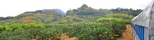 Fukumi-san's citrus orchard, Setoda Island