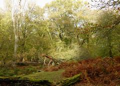 New Forest NP, Hampshire, UK (east med wanderer) Tags: england hampshire uk newforestnationalpark nationalpark bracken oak beech trees forest woodland