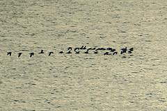 Oyster Catchers (ianbartlett) Tags: 365 outdoor wildlife nature birds flight monochrome sea sand water dogs groynes drone landscape light colour seal