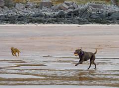 P1022886e1 DF LM (David W Geddes) Tags: dachshund lorne dug broon raasay labrador sand applecross beach