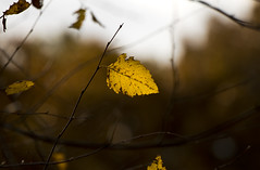 In the Wood (ByotA .. Off) Tags: leaf autumn intertwining light golden sunset 2019 byota canoneosrebelt6i omar music classic jsbach