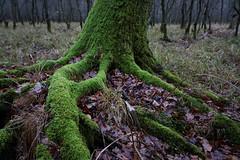 Im Mönchbruchwald (nordelch61) Tags: deutschland hessen heimat naturschutzgebiet mönchbruch wald baum bäume wurzel wurzeln ast äste zweig zweige moos
