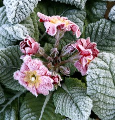 Frosted primulas 3 (kitmasterbloke) Tags: cold frost icecrystals winter essex nature plants pattern geometric symmetry ground landscape outdoor uk morning temperature sunlight sunny