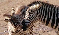 zebra Burgerszoo 094A1620 (j.a.kok) Tags: zoogdier zebra burgerszoo burgerzoo grantzebra mammal dier animal africa afrika