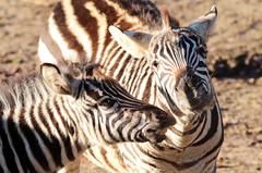 zebra Burgerszoo 094A1565 (j.a.kok) Tags: zoogdier zebra burgerszoo burgerzoo grantzebra mammal dier animal africa afrika