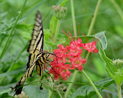 Swallowtail (justkim1106) Tags: butterfly lepidoptera swallowtail stripedbutterfly nature wildlife texasnature insect wildflower scarletmuskflower devilsbouquet nyctaginiacapitata wingedinsect