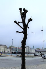 Norway.  tree pruning. Savangar.