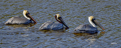 Brown Pelicans (jt893x) Tags: 150600mm bird breeding brownpelican d500 jt893x nikon nikond500 pelecanusoccidentalis pelican sigma sigma150600mmf563dgoshsms alittlebeauty coth thesunshinegroup coth5 ngc sunrays5