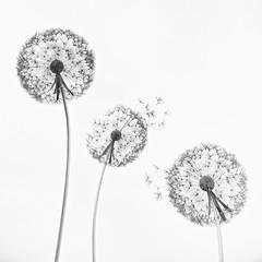 3 dandelions (khrawlings) Tags: dandelion metal sculpture trentham gardens amywight steel bw blackandwhite monochrome staffordshire stoke england