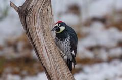 Acorn Woodpecker (Laura Erickson) Tags: picidae cochisecounty piciformes birds arizona acornwoodpecker species places cavecreekcanyon