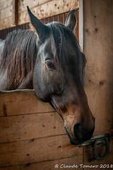 Max (Claude Tomaro) Tags: royal equestrian cantre ottawa ontario canada claude tomaro horse head stable brown