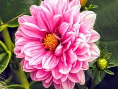 Pink Flower (pmorris73) Tags: arboretum pennstateuniversity statecollege pennsylvania century 2cee 3cee 4cee 5cee 6cee 7cee 8cee 9cee 1ka2619