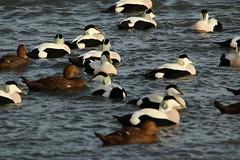 IMG_4932 (monika.carrie) Tags: monikacarrie wildlife scotland