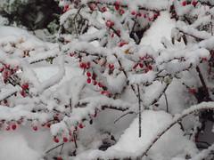 First Snow_9476 (smack53) Tags: smack53 canon powershot sx530hs canonpowershotsx530hs winterscenery snow snowfall snowscape snowy snowstorm autumn autumnseason fall fallseason november westmilford newjersey