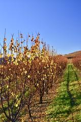 Vicinity of Guarane (Waldek P.) Tags: italy langhe piemonte włochy piemont wino wine vineyard winnica barolo nebiolo muscat grapes vite winorośl guarane