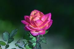 rose de décembre et gouttes de rosée (guy dhotel) Tags: