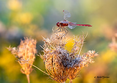 Libellules -  Dragonfly (MichelGuérin) Tags: 2018 anisoptera canada exterior extérieur libellules lightroomcc michelguérin nature nikcollectionpardxo nikon nikonafsnikkor200500mmf56eedvr nikond500 qc québec sablièremelochedesaintlazare september septembre dragonfly insecte odonates lescèdres ca