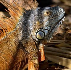 Shadowy Otto is waiting me out (jungle mama) Tags: otto iguana reptile lizard armor tympanum orange blue spike spine fairchildtropicalbotanicgarden fairchildgarden susanfordcollins dewlap bodylanguage natureinfocusgroup coth coth5