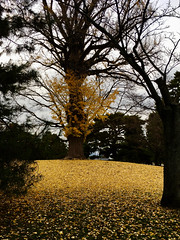 ginko mound (deziluzija) Tags: autumnleaves ginko koyo kyotogyoen