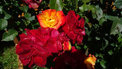 Red Flamed Rose (uwelino) Tags: südtirol italien trentino verschneid europa europe südeuropa salten tschögglberg monzoccolo sarntaleralpen flowers rosen rose red flamed altoadige