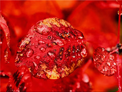 A work of art of nature (Ostseetroll) Tags: deu deutschland geo:lat=5403902516 geo:lon=1068913707 geotagged pönitzamsee scharbeutz schleswigholstein kunstwerk natur herbst blatt tropfen autumn aworkofart nature leaf drops olympus em5markii makroaufnahme macro