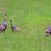 Wild Turkeys in a Field