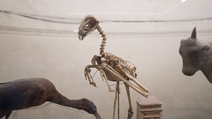 A bird skeleton at Egypt's Egyptian Museum of Cairo (Kodak Agfa) Tags: egypt cairo egyptianmuseumofcairo emc cairomuseum buildings mideast middleeast travel museum archaeology egyptology northafrica africa mena place history birds animals skeletons مصر المتحفالمصرى