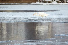 Great Egret walking on the ice of frozen river in sunlight in the winter (Digikuvaaja) Tags: white bird winter egret wintertime lake ice snow great nature wildlife birdwatching animal river water greatwhiteegret wild plumage migratory frost beauty greategret feather longneck outdoor countryside frozen scene wing feathers icy graceful serene waterfowl sea snowy natural ornithology wilderness elegant pond climate silence waterbird tranquil finland